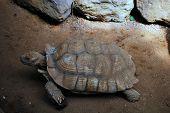 A Tortoise lumbering along
