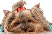 Beautiful yorkshire terrier with blue decorative balls isolated on white
