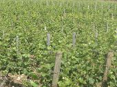 Vineyard In The Cote D'or