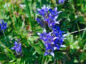Blue flowers of gentian on the meadow in mountain