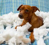 naughty playful puppy dog after biting a pillow tired of hard work