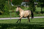 stock photo of wild horse running  - buckskin horse trot - JPG