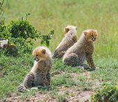 Cheetah\'S Cubs