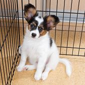 stock photo of epagneul  - Puppy papillon in a cage for small dogs - JPG