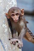 Rhesus-Makaken-Affen