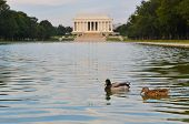 Washington DC,  The ducks in the reflection pond of Lincoln memorial