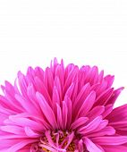 chrysanthemum flower on a purple background