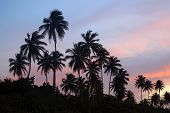Palm Grove On A Tropical Island At Sunset Puerto Rico