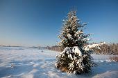 Fir tree in snowy beautiful winter scene, Baltic states, Europe