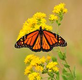 stock photo of goldenrod  - Monarch butterfly with its wings outstretched - JPG