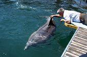 Man Strokes Bottlenose Dolphin