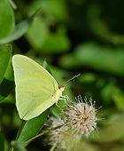 Cloudless Sulphur butterfly (Phoebis sennae)