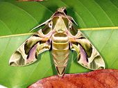 Butterfly Blackleg Tortoiseshell