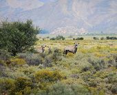 Gemsbok Antelopes At South African Bush
