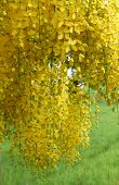 stock photo of vishu  - Cassia fistula flower - JPG