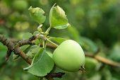 Green Apple In Summer