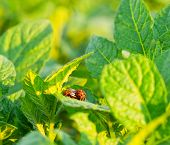 The Colorado Potato Beetle On The Leaves Of Potatoes