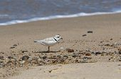 Piping Plover On Cape Cod