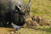 stock photo of pot bellied pig  - a pot bellied pig - JPG