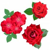 roses flowers it is isolated