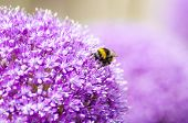 stock photo of bumble bee  - Close - JPG