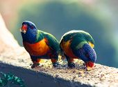 stock photo of lorikeets  - Rainbow Lorikeet Parrots eating in Sydney - JPG