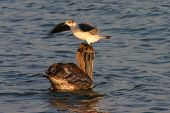 Seagull On Top Of Pelican