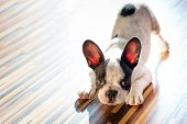 stock photo of dog-house  - French bulldog puppy at home - JPG