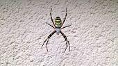 Vespen spider