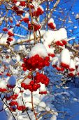Bright Red Clusters Of Berries Of Viburnum On The Branches In The Winter