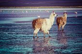 stock photo of lamas  - Lama on the Laguna Colorada in Bolivia - JPG