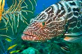 image of grouper  - Close - JPG