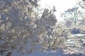 Tree Branches Covered With Snow.