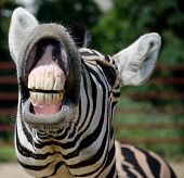 picture of animal teeth  - Funny Zebra smile and teeth in the zoo - JPG