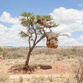 Weaver Bird Nest In Namibia, Africa