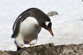 Gentoo Penguin Which Stands Near The New Nest