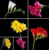 Collage of beautiful  freesias on black background