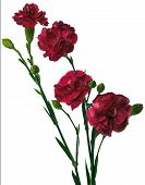 image of carnations  - Bouquet of four red carnation flowers isolated on white background - JPG