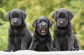 stock photo of labradors  - Cute black Labrador Retriever puppies sitting  - JPG