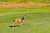Deer Buck On A Golf Course By A Green