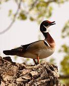 Wood Duck Drake Calling
