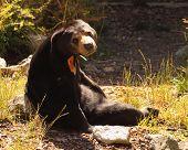 Sun Bear Resting