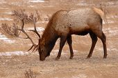Elk Bull Feeding In Winter Field