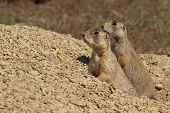 White-tailed Prairie Dog Parent And Pup