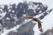 Skua flying in Antarctica