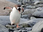 Jumping Gentoo Penguin