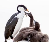 Blue eyed Shag feeding Baby Chicks