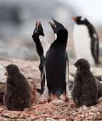 Adelie Penguins looking after their Chicks