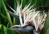 Giant White Bird Of Paradise Flower