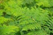 picture of spores  - Perennial herbaceous plant spore fern  family - JPG